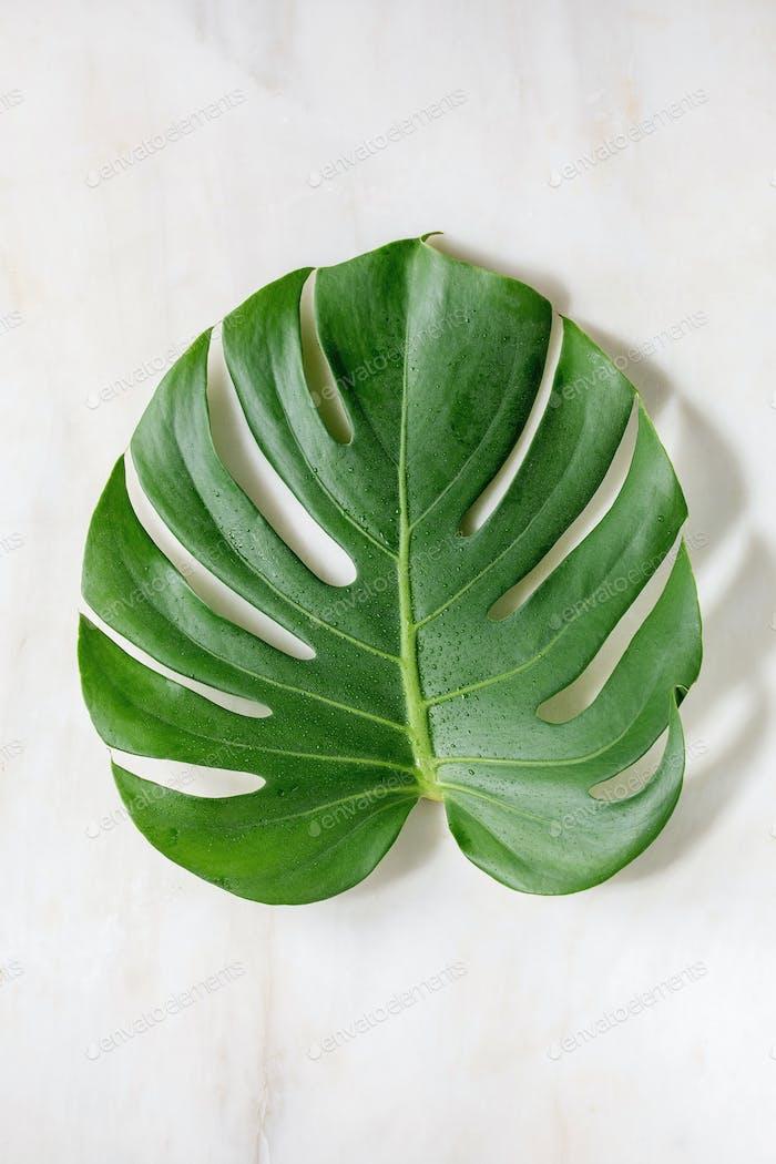 Tropical jungle Monstera leaf