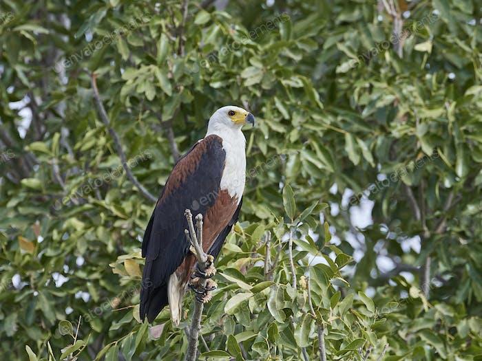African fish eagle (Haliaeetus vocifer),
