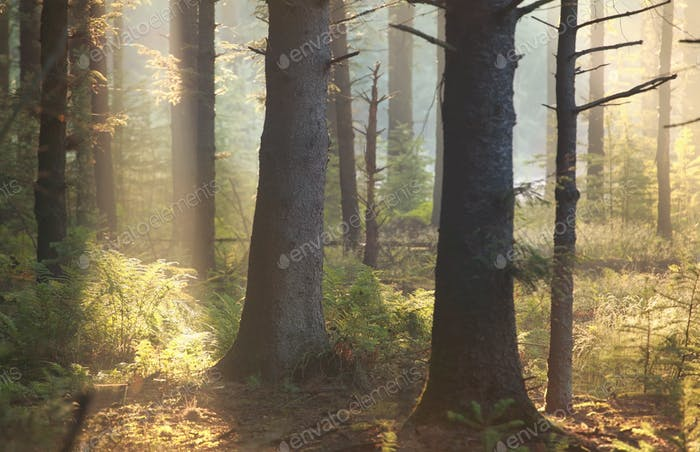 morning sunlight in coniferous forest