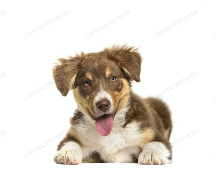 Border Collie puppy lying and panting, cut out