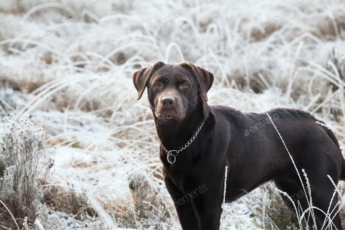 cute brown labrador dog on frosted meadow