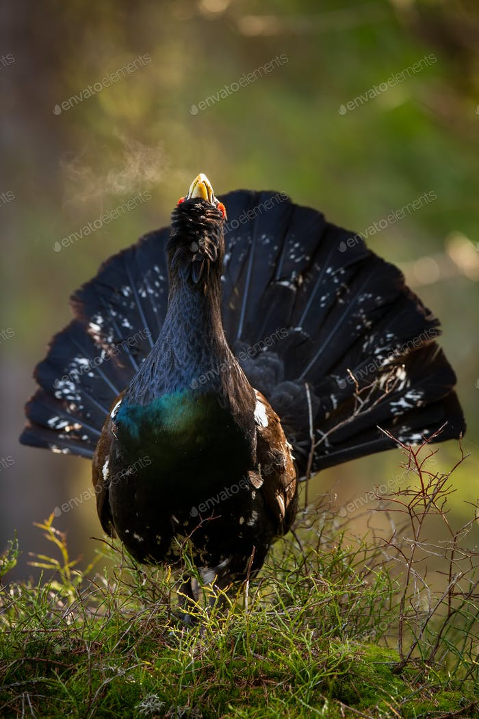 Majestic western capercaillie calling during courting season in spring nature
