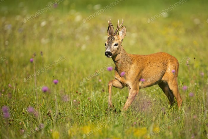 Roe deer buck approaching on a green grass with violet wildflowers