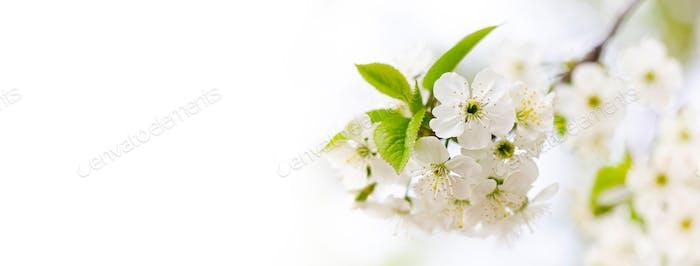 Weicher zarter Frühlingseinladungshintergrund. Obstbaum blühenden Zweig weiße Blütenblätter Blüten.