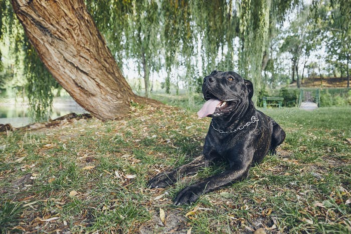 Portrait of cane corso dog