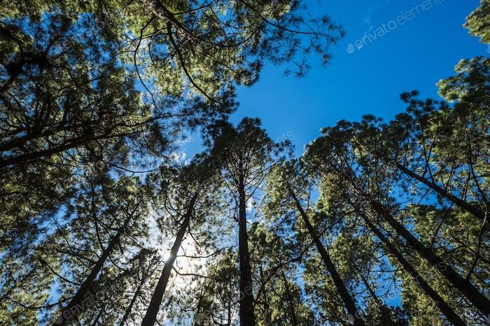 Blick auf die oberen Kiefern im Wald mit Sonne