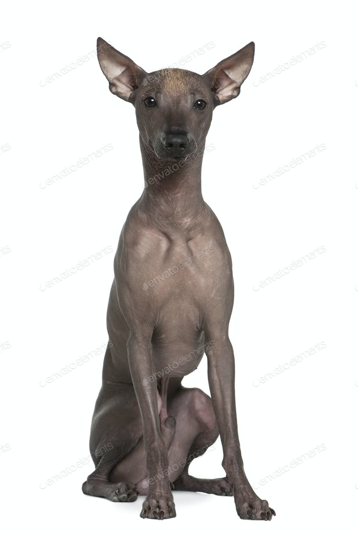 Peruvian hairless dog, 8 months old, sitting in front of white background