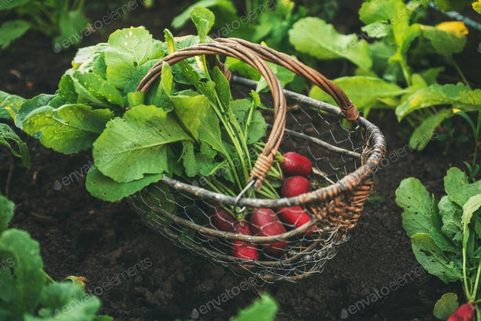 Fresh red radishes with leaves in a basket