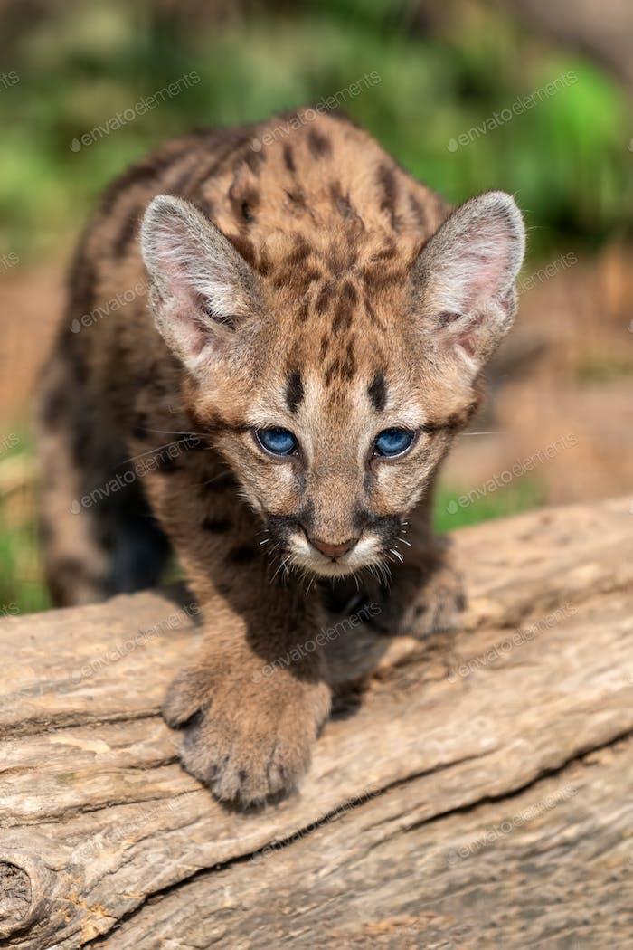 Portrait baby cougar, mountain lion