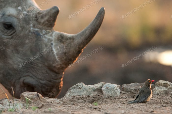 Rhino and tiny bird