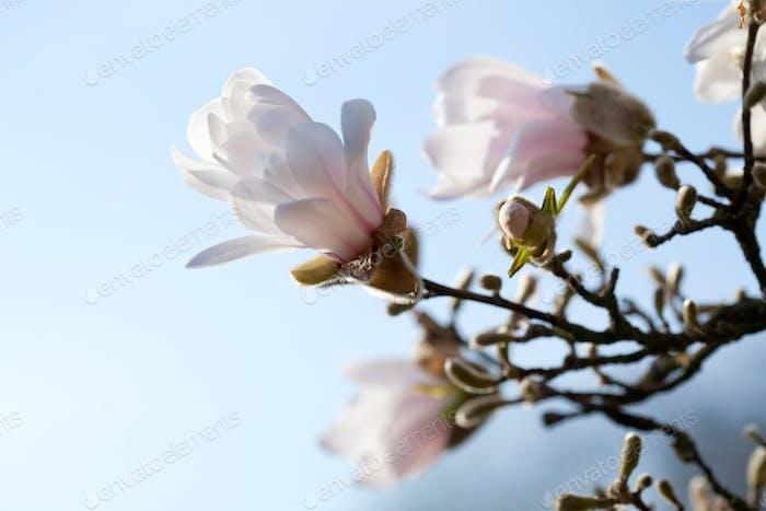 Magnolia blooming in spring park