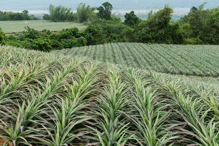 Cultivation of pine apple at TaiWan