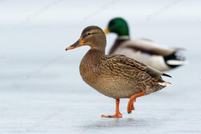 Two wild ducks approaching together on ice in wintertime