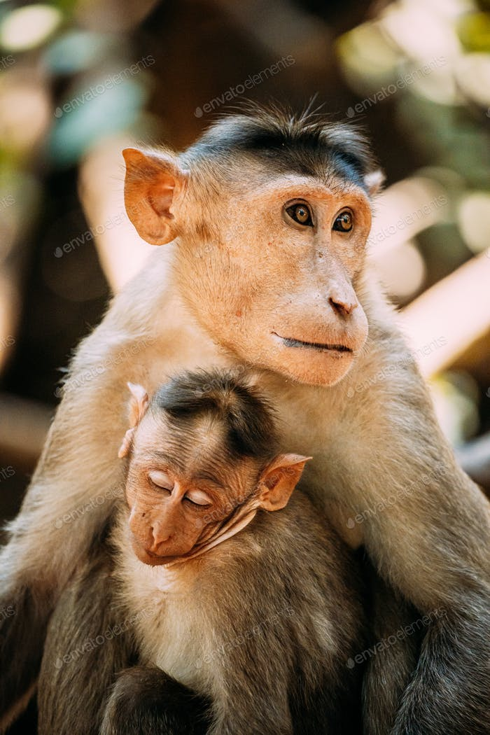 Goa, India. Bonnet Macaque - Macaca Radiata Or Zati With Newborn Sitting On Ground. Monkey With