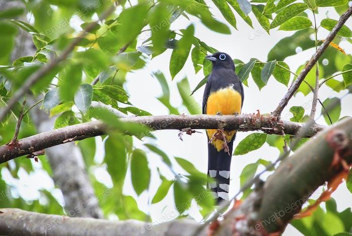 Black-headed Trogon Bird Perched in Belize