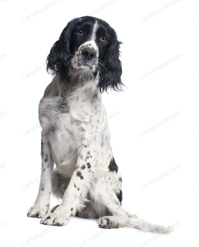 English Springer Spaniel (1 year)