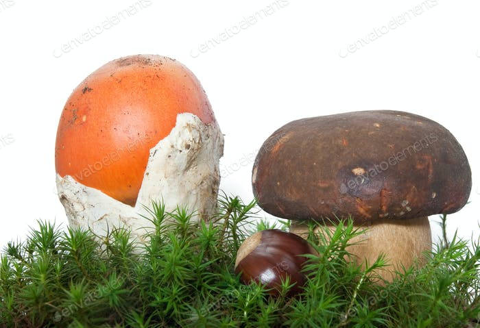 Amanita and Boletus mushrooms with chestnut
