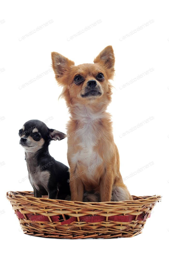 puppy and adult chihuahua