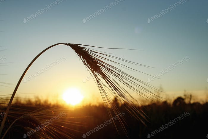 silhouette of rye wheat at rays in amazing sunshine moment in summer evening