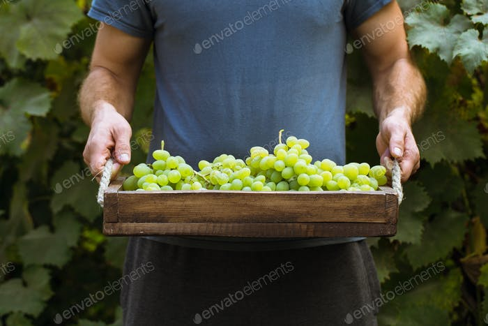 A man picking grapes in a vineyard