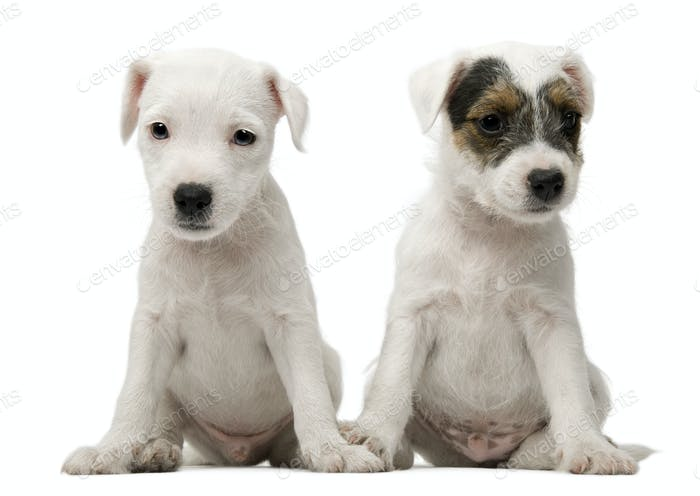 Parson Russell Terrier puppies sitting in front of white background