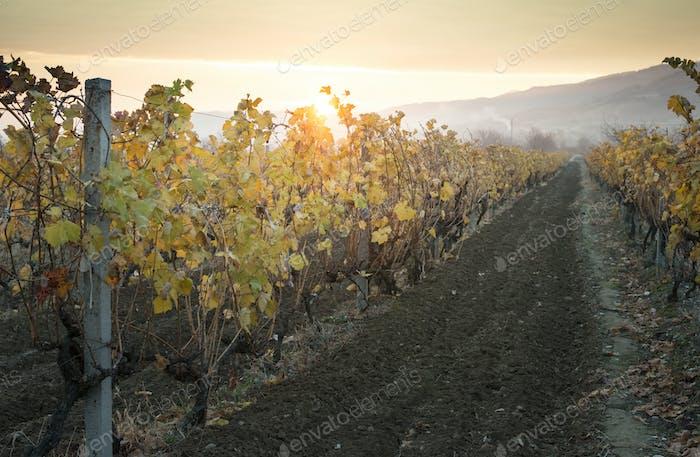 Vineyards on sunrise. Autumn vineyards in the morning.