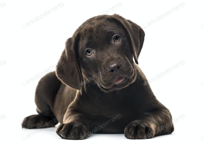 Puppy Schokolade Labrador Retriever liegend, 3 Monate alt, isoliert
