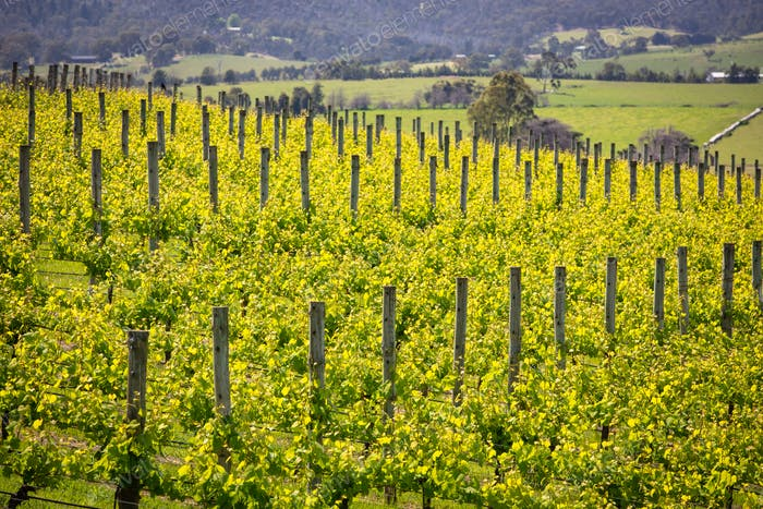 Yarra Valley Vineyard