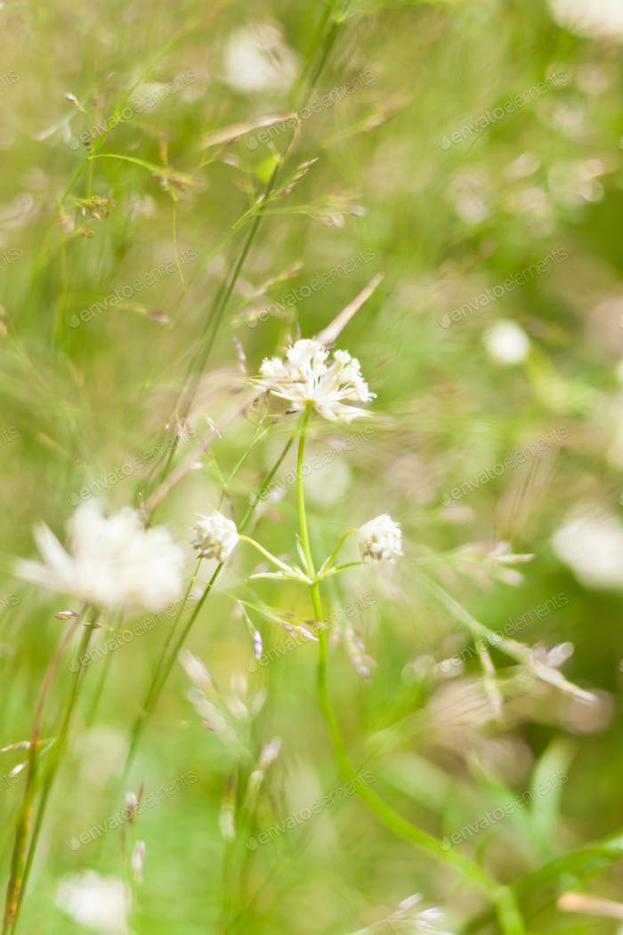 Green grass with small white flowers