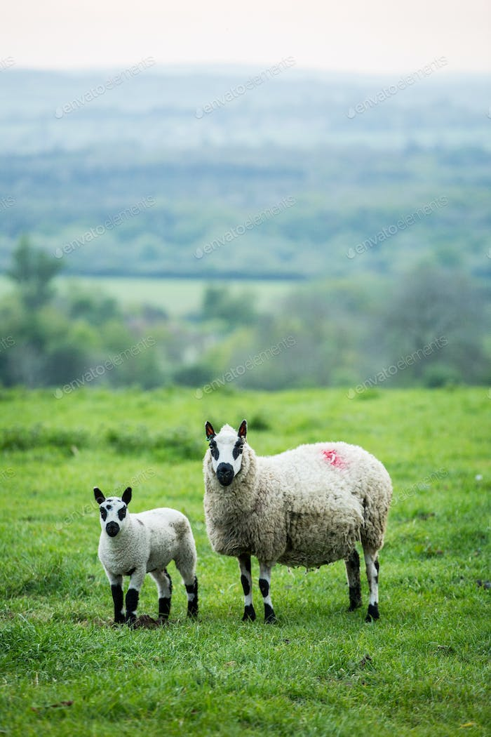 Kerry Hill sheep and lamb on a pasture on a farm.