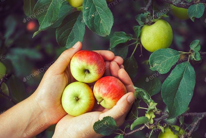 Ripe apples