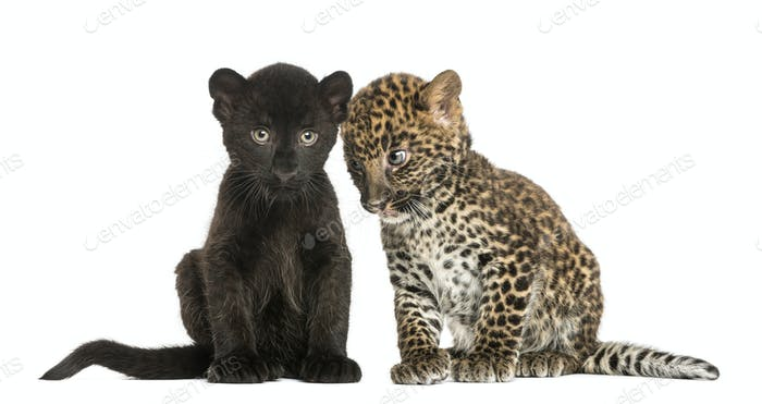 Two Black and Spotted Leopard cubs, 3 and 7 weeks old, isolated on white