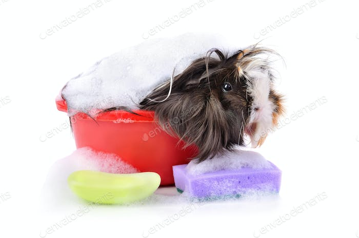 Cute guinea pig in bath