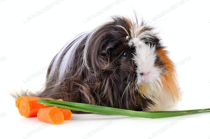 Long hair juinea pig