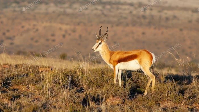 A Springbok Ram in the Mountain Zebra National Park