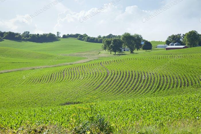 Campos de maíz joven y una granja en colinas ondulantes en el centro de Minnesota en un brillante día de primavera