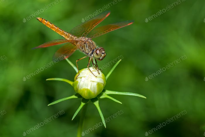 Dragonfly sitting on flower closeup