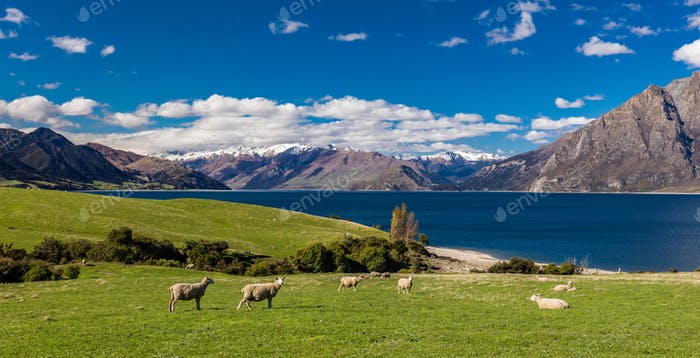 Sheep on a field near Lake Hawea with mountains in the backgroun