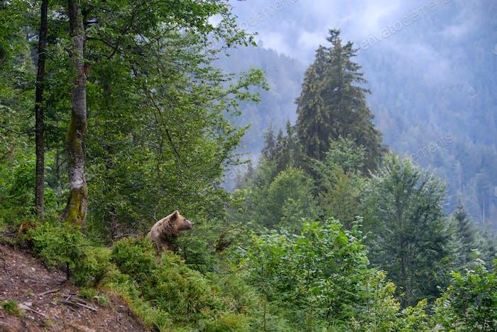 Wild adult Brown Bear  (Ursus Arctos) in the summer forest
