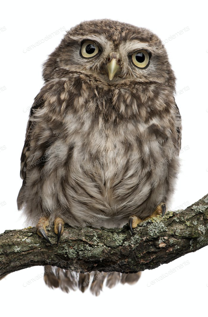 Thumbnail for Young owl perching on branch in front of white background