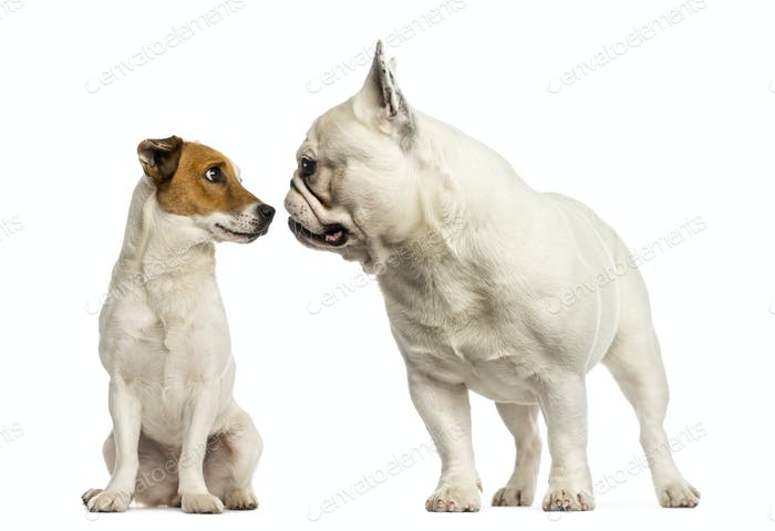 Jack russel terrier and French bulldog  sniffing each other