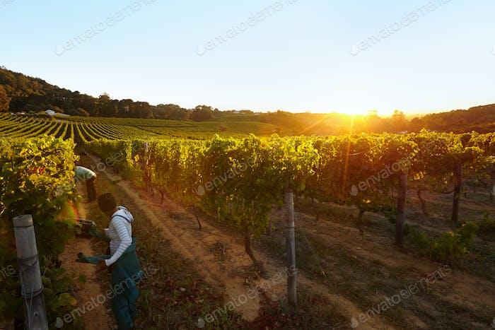 People harvesting grapes in vineyard