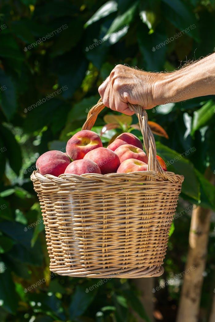 Senior Mann, Landwirt Arbeiter hält Ernte von biologischem Pfirsich