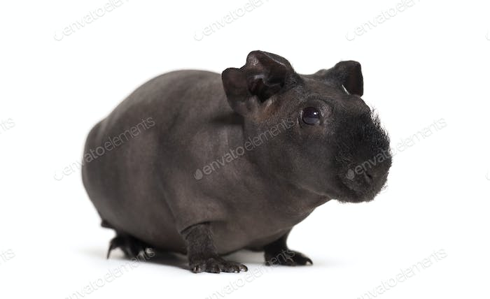 Skinny pig, Guinea pig against white background