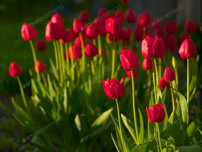Blühende rote Tulpen im Frühjahr sonnigen Abend