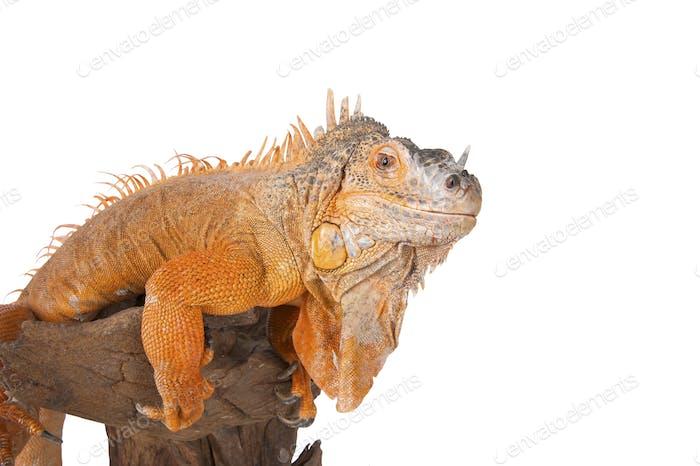 Portrait of iguana close-up.