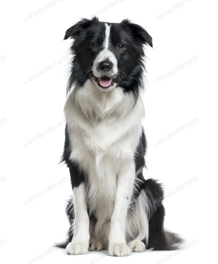Border Collie looking the camera isolated on white