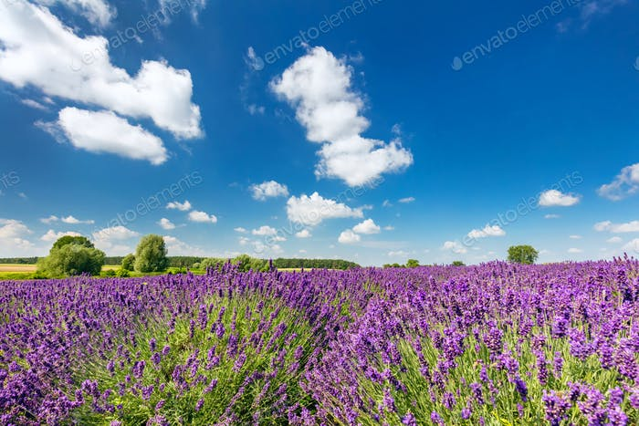 Lavender flower field in full bloom, sunny blue sky