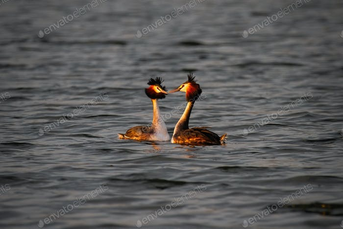 Two great crested grebe courting on water at sunrise in spring