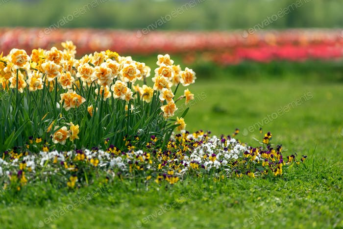 Narcissus field in bloom on spring in garden
